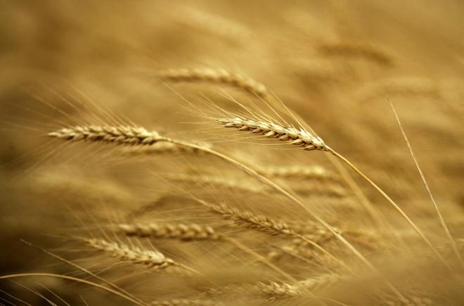 Cada cultivar de trigo tem  características  físico-químicas específicas para atender demanda dos moinhos | Arquivo /Gazeta do Povo