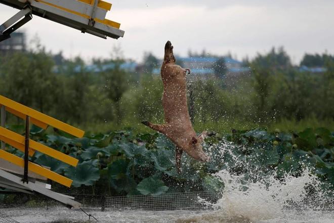 Porcos têm de saltar três vezes por dia, mas alguns  gostam tanto que entram várias vezes na fila - segundo o criador | STR/AFP