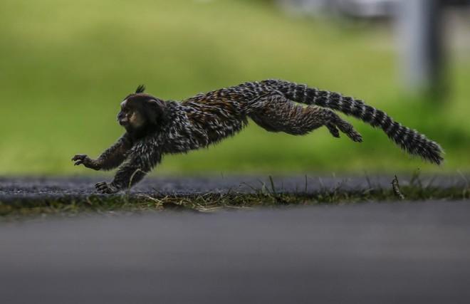 Sagui é uma das espécies que vivem no Parque Barigui. | Jonathan Campos/Gazeta do Povo
