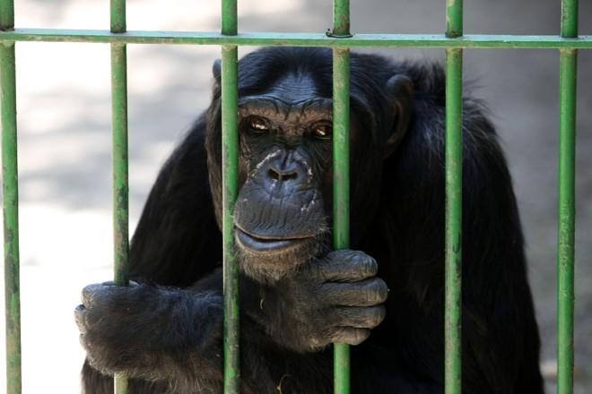 Em 2011, o TJ-RJ negou o pedido de habeas corpus impetrado a favor do chimpanzé Jimmy (foto), que mora em um zoológico em Niterói   Gazeta do Povo / Arquivo