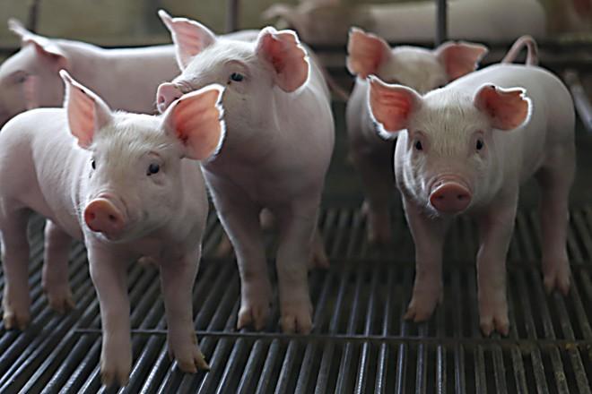 O projeto técnico-jornalístico está percorrendo os seis estados líderes em produção e exportação da proteína: Paraná, Rio Grande do Sul, Santa Catarina, Minas Gerais, Goiás e Mato Grosso. | Albari Rosa/Gazeta do Povo