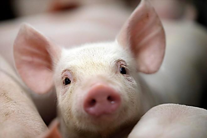 Estados do Sul são os maiores produtores de suíno no Brasil | Albari Rosa/Gazeta do Povo