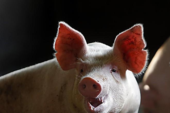 Além das consequências da operação da Polícia Federal, o preço da carne suína, menor em relação à bovina, também favoreceu o crescimento deste tipo de proteína. | Albari Rosa/Gazeta do Povo