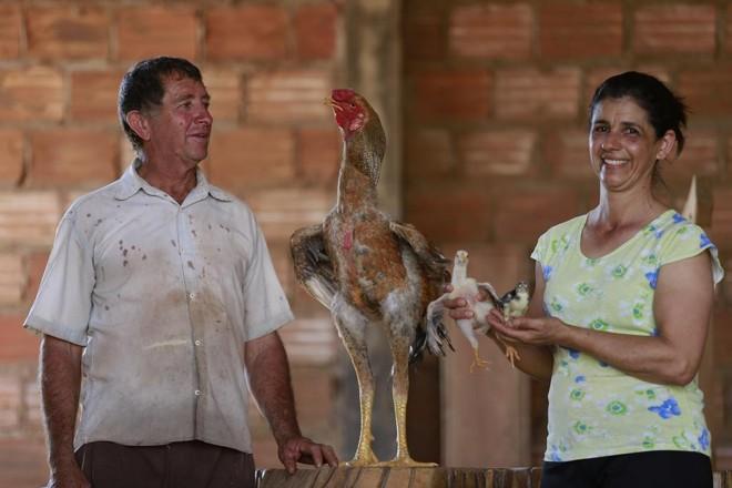 Darci Severino Tomé e Mara Silvia Duarte, em Aparecida do Rio Doce (GO), têm dois galos da raça Índio Gigante. | JONATHAN CAMPOS/GAZETA DO POVO