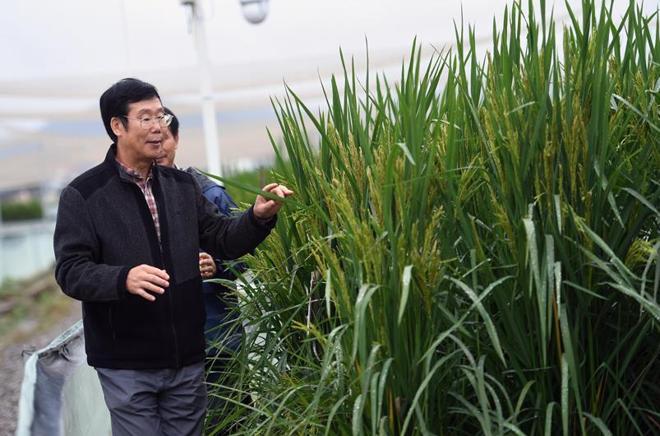 Pesquisador Xia Xinjie inspeciona campo de arroz no distrito rural de Changsha, província de Hunan | Divulgação/Xinhua