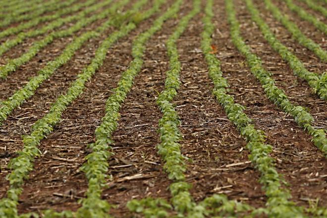 Área total cultivada com soja, no Paraná, deve chegar a 5,44 milhões de hectares | Albari Rosa/Gazeta do Povo