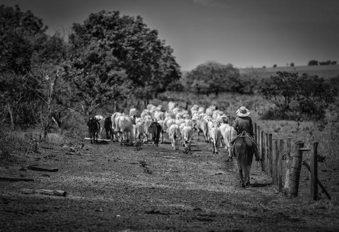 No meio de uma estrada rural do Mato Grosso do Sul, peão toca a boiada | Jonathan Campos/Gazeta do Povo