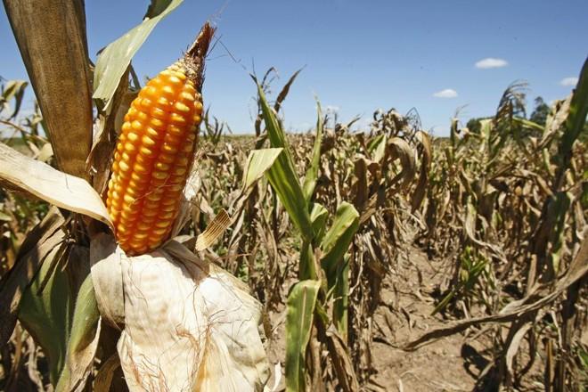 Milho prejudicado pela seca:clima ruim para o novo plantio e preço baixo estão fazendo agricultores desistirem do milho para a safra de verão   Hugo Harada /  Gazeta do Povo