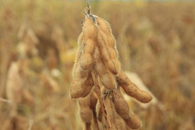 Cientistas desenvolveram um sistema que conecta uma proteína na semente de soja para gerar um medicamento que impede a reprodução do vírus HIV   ARQUIVO /GAZETA DO POVO