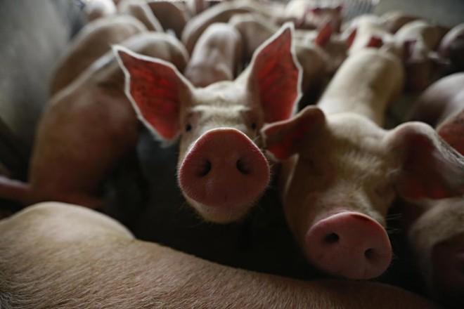 Ractopamina não deveria ser utilizada em lotes de carne suína destinados à exportação para Rússia e União Europeia   Jonathan Campos/Gazeta do Povo