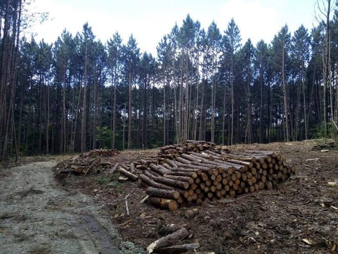 Imagens feitas pelo MP-PRmostram a madeira cortada da fazenda de Abib Miguel. | Divulgação/MP-PR/