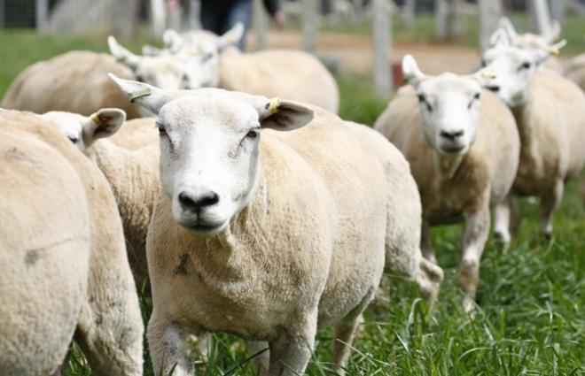 Após serem 'cercadas' pela polícia, ovelhas  e burro foram levados de volta para casa pelo fazendeiro | Arquivo/Gazeta do Povo