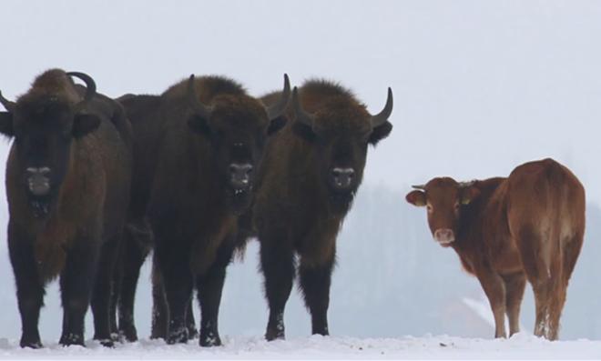 Novilha já está há pelo menos três meses integrada a uma manada de 50 bisões   Reprodução/
