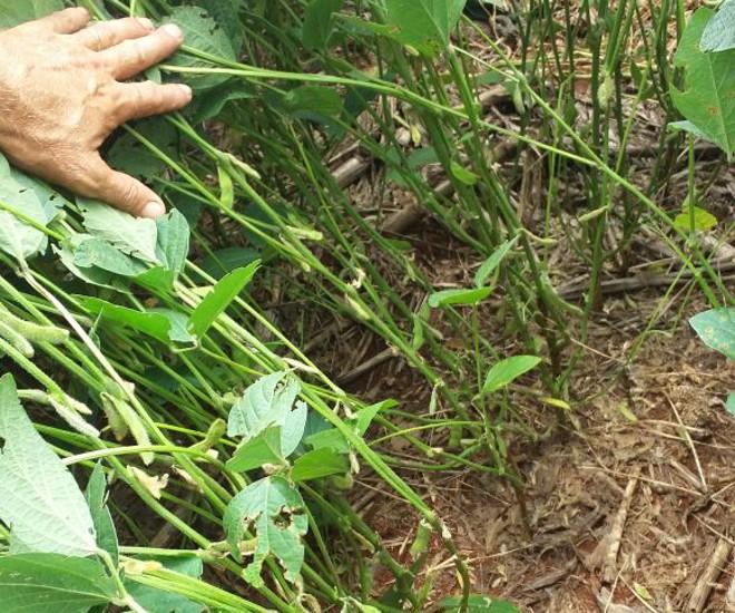Soja apresentava as mesmas características de uma planta saudável, a não ser pela ausência quase que total de vagens e grãos. | Clóvis Gressler Junior/Arquivo pessoal