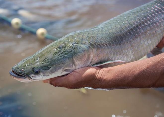 A pesquisa identificou mais de 400 proteínas secretadas pelo peixe. A descoberta foi publicada na revista científica Plos One. | Divulgação/Embrapa