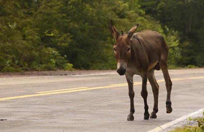 Burro perdido em estrada, no Piauí:população de burros está diminuindo por conta da caça ilegal e envio do couro para a China | HUGO HARADA/GAZETA DO POVO