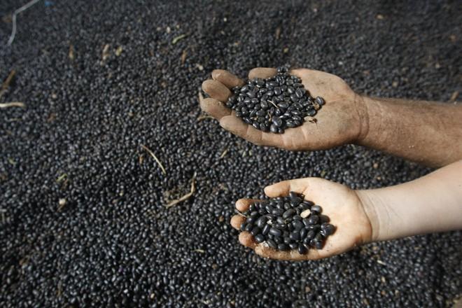 Feijão é o produto com maior porcentagem de sementes piratas   JONATHAN CAMPOS/GAZETA DO POVO