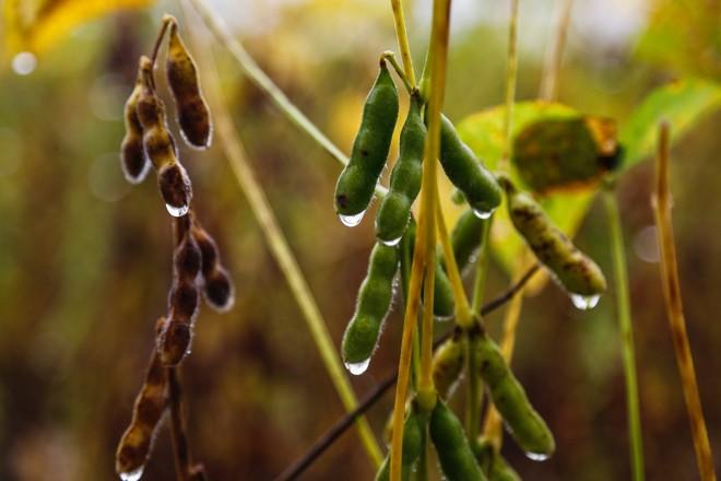 A chuvarada atrapalhou o manejo ao longo do ciclo e trouxe doenças às plantações. | Jonathan Campos/Gazeta do Povo