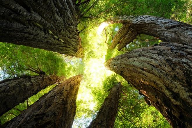 Remanescentes de sequoias cobrem hoje apenas 5% da área original das florestas 'Redwoods' de 150 anos atrás | /Bigstock