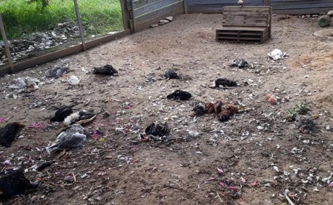 Todas as galinhas mortas apresentavam sinais de violência e pareciam estar sem coração | Colaboração/Márcia Batista da Silva