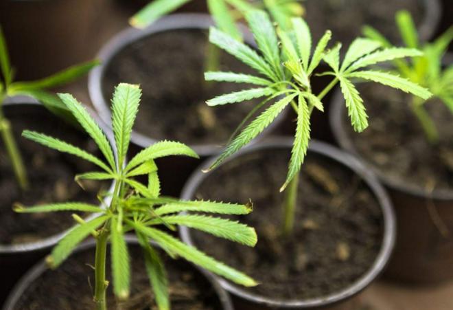 Cannabis legalizada é cultivada em estufas perto de Medellin | FCMGlobal/