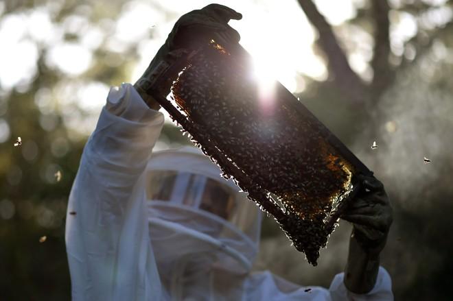 No orçamento de 2017, o Japão destinou mais de US$ 22 milhões para centros de produção, o que inclui auxílio para a proliferação das plantas das abelhas. | Andre Borges/Agência Brasília