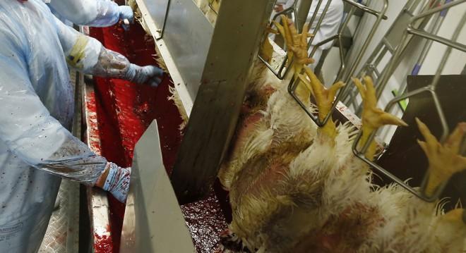 Abate com o método Halal: animais perfeitos, uma frase a Alá deve ser dita e sangria completa | Hugo Harada/Arquivo Gazeta do Povo