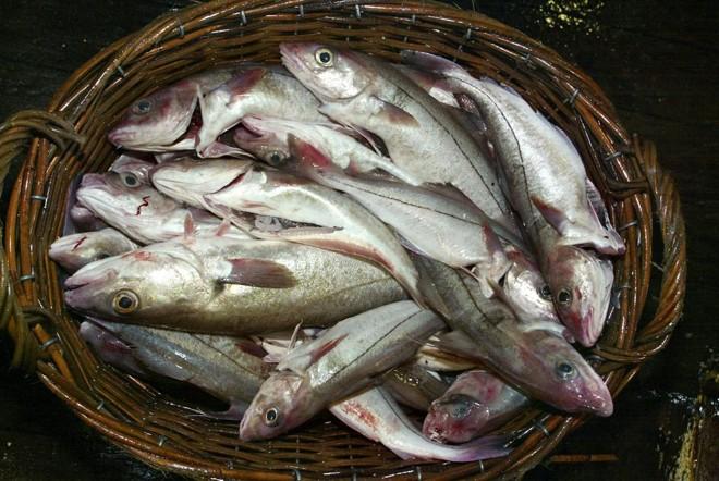 Pesquisadores acreditam que espécies como o haddock já tiveram seu tamanho reduzido por causa do aquecimento do Mar do Norte, entre o Reino Unido e a Escandinávia. | tg/MARCEL MOCHET
