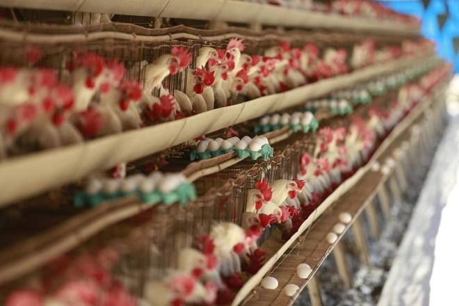Galinhas produziram quase 40 bilhões de ovos no Brasil em 2017 | Jonathan Campos/Gazeta do Povo