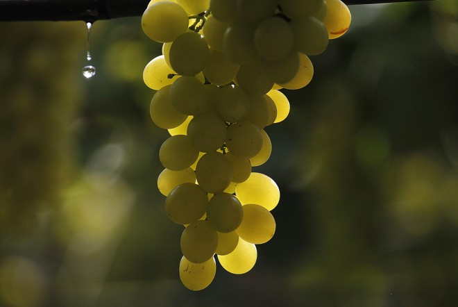 Plantação de uva em Petrolina, em Pernambuco.   Jonathan Campos/Gazeta do Povo