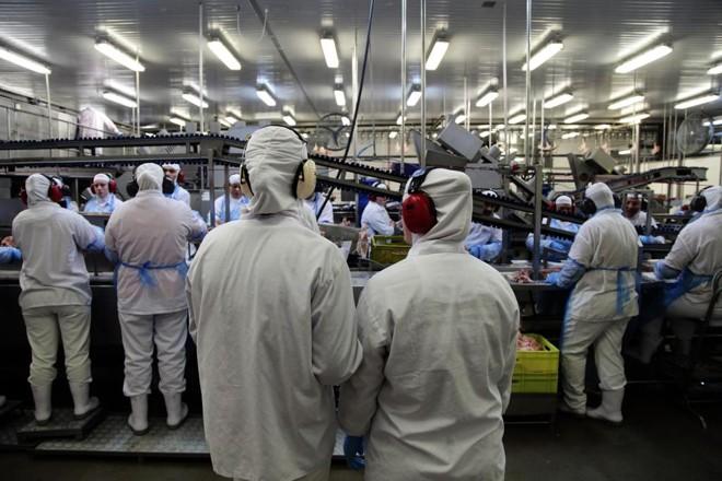 Abate Halal, conforme as regras do Islã, responde atualmente por metade das exportações brasileiras de frango | Daniel Caron/Gazeta do Povo