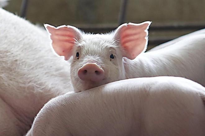 O Brasil é o quarto maior produtor e exportador de carne suína do mundo. | Albari Rosa/Gazeta do Povo