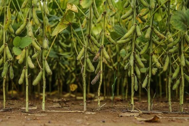 Previsão  do USDA é de que os brasileiros assumam a liderança mundial na produção de soja na safra 2018/19 | Jonathan Campos/Gazeta do Povo