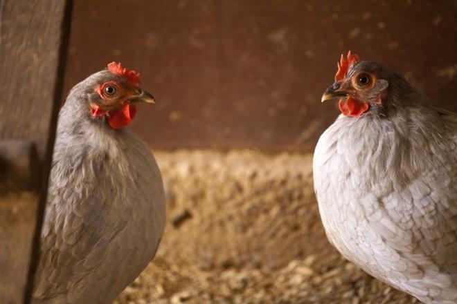 Produção de frangos:Perdue Farms quer levar carne orgânica à grande massa consumidora. | Daniel Caron/Gazeta do Povo