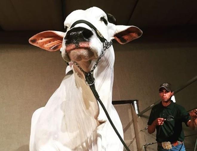 Vaca  Parla já chegou a valer R$ 6 milhões   Reprodução/