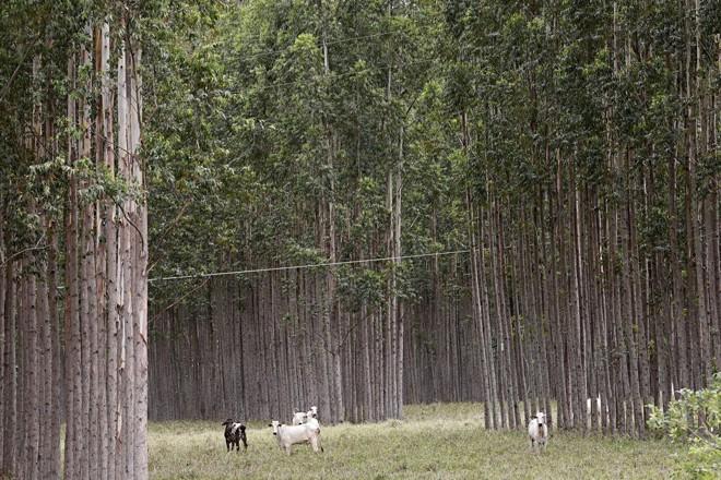 A atividade florestal deve crescer três vezes nos próximos anos, com redução de área plantada e aumento de produtividade. | Felipe Rosa/TRIBUNA DO PARANA