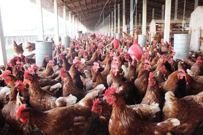 Principal polo avícola do Nordeste, a região de São Bento do Una todo mês produz 6,3 milhões de frangos e 200 milhões de ovos . | /