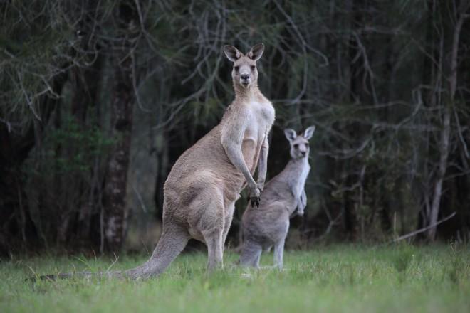 Muitos temem que o afrouxamento das restrições à caça de cangurus possa acabar prejudicando a espécie. | /