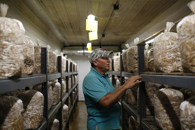 Steve Carroll inspeciona estoques de cogumelos de sua fazenda: preparativos para o furacão Florence | Eamon Queeney/For The Washington Post