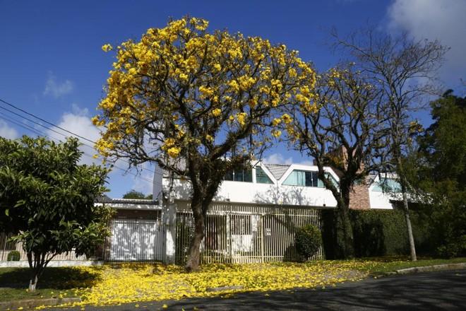 Ipê amarelo no bairro Jardim Social: florada anuncia a chegada da primavera em Curitiba. | Aniele Nascimento/Gazeta do Povo