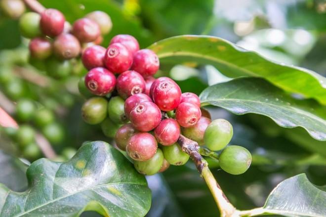 Neste ano, a produção de café em Porto Rico deve ser de apenas 10% do que se colhe tradicionalmente | /BigStock