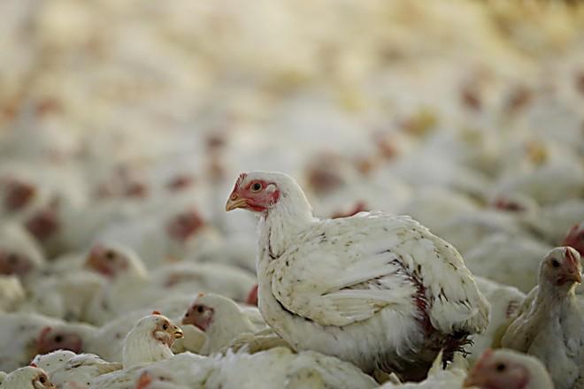 O Paraná foi o responsável por 37,6% de toda carne de frango exportada pelo Brasil no terceiro bimestre do ano. | Albari Rosa/Gazeta do Povo
