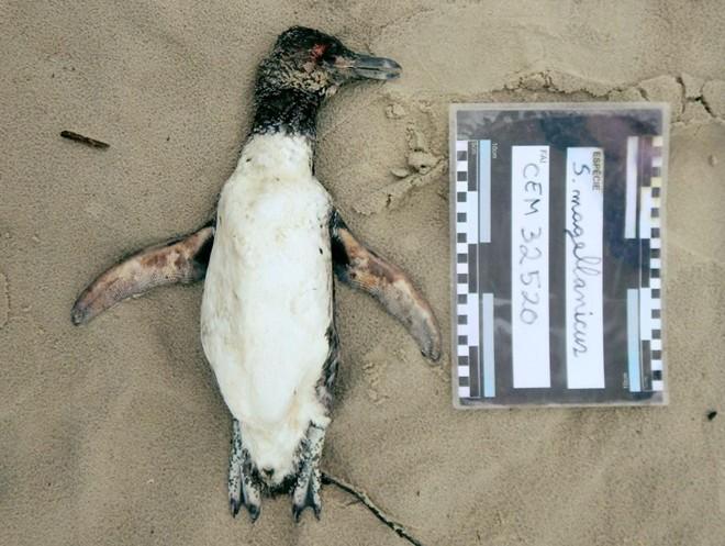 Pinguins  foram encontrados na orla de Matinhos, Pontal do Paraná e Guaratuba | Divulgação/CEM