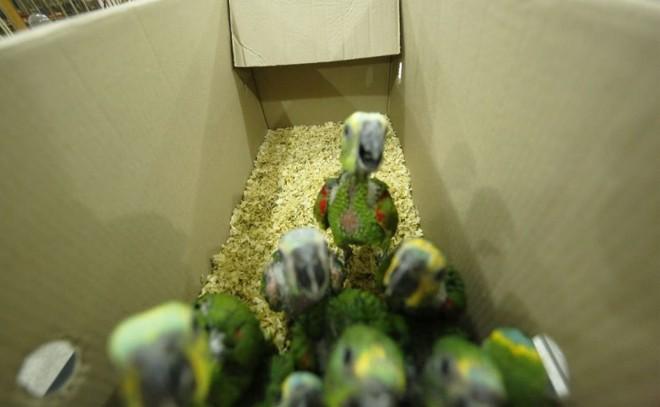 Filhotes de papagaios estavam em uma casa no Boqueirão. | Lineu Filho/Tribuna do Paraná