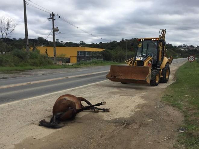 Prefeitura de Almirante Tamandaré recolheu os cavalos mortos à beira da Rodovia dos Minérios. | Adel Codeiro/ Prefeitura de Almirante Tamandaré