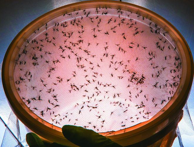 Mosquitos Aedes aegypti serão usados em Jacarezinho como aliados para o combate a doenças transmitidas pelo inseto. | Forrest Innovations/Divulgação
