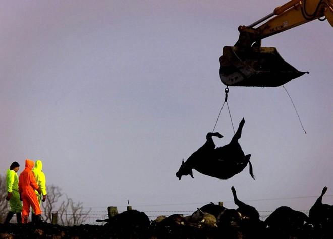 Em casos anteriores de epidemias, milhares de animais tiveram de ser sacrificados e incinerados para tentar conter a doença | DCS/BR/JEFF J MITCHELL