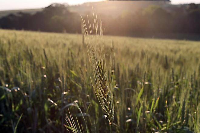 A fábrica em Pinhais passa a processar 600 toneladas de trigo por dia.   Albari Rosa/Gazeta do Povo