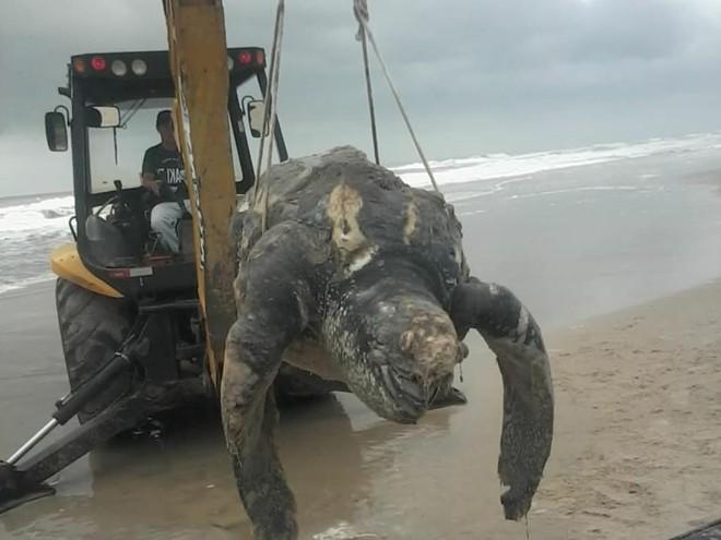Tartaruga de couro recolhida nesta segunda-feira da praia de Nereidas, em Guaratuba.   Colaboração/Jornal de Guaratuba