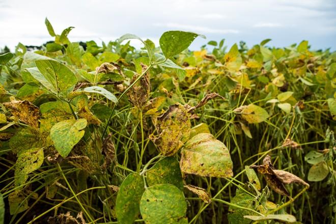 Ferrugem asiática na lavoura de soja: chuva frequente é um dos fatores que favorecem o surgimento da doença. | Brunno Covello/Gazeta do Povo